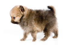 Free The Puppy Of The Spitz-dog Royalty Free Stock Images - 2816879