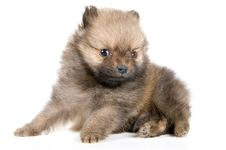 Free The Puppy Of The Spitz-dog Stock Images - 2816914