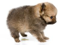 Free The Puppy Of The Spitz-dog Stock Image - 2816921