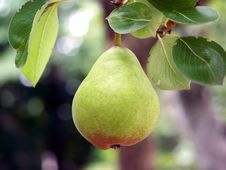 Free Pear Close-up Royalty Free Stock Images - 2818109