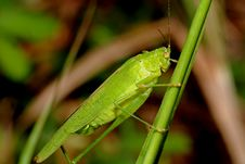 Tiny Green Color Grasshopper Royalty Free Stock Photos
