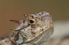 Free Texas Horned Lizard Stock Photography - 2818432