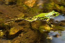 Free Edible Frog In Pond Close-up Royalty Free Stock Photos - 2818568