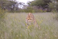 Cheetah In Africa Royalty Free Stock Photography