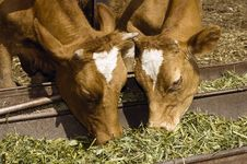 Free Two Cow Eat Grass Stock Image - 2819521