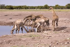 Free Giraffes By The Water Stock Photos - 2819553
