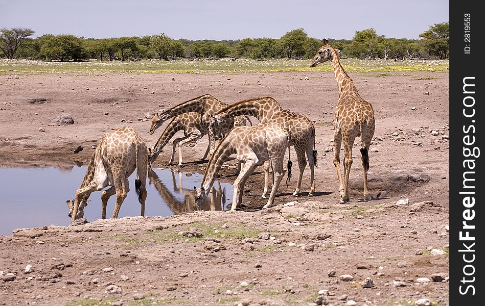 Giraffes by the water