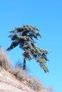 Free Pine Tree Royalty Free Stock Image - 28102426