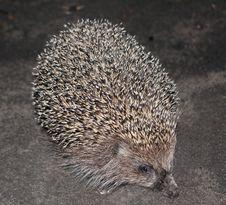 Free Walking Hedgehog Royalty Free Stock Images - 28101299