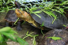 Free Turtles In Pond Royalty Free Stock Photo - 28101345
