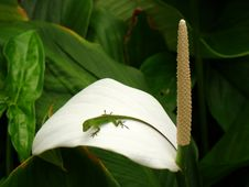 Free Green Lizard Sitting On A White Flower, Oahu, HI Royalty Free Stock Photography - 28101767