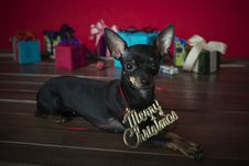 Free Dog As A Gift On New Year And Christmas Stock Photos - 28102093