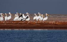 Free American White Pelicans Stock Image - 28106971