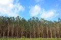Free Rubber Tree Garden Landscape Stock Photo - 28110320
