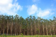 Rubber Tree Garden Landscape Stock Photo