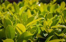 Free Close Up A Green Tree Royalty Free Stock Photos - 28110628