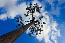 Free Tall Tree And Blue Sky Stock Photo - 28110690