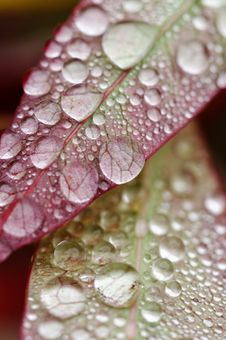 Free Water Droplets On Leaves Royalty Free Stock Photo - 28111935