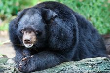 Malayan Sun Bears Royalty Free Stock Images