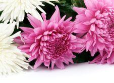 Free Chrysanthemum Royalty Free Stock Photos - 28119158