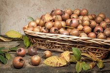Free Medlars Royalty Free Stock Photos - 28119738