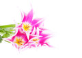 Free Pink Tulips On The White Background Stock Photography - 28122732