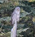 Free Great Grey Owl Royalty Free Stock Photos - 28126558
