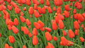Free Field Of Tulips Royalty Free Stock Images - 28128499