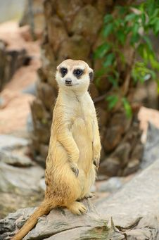 Free Meerkat. Royalty Free Stock Photos - 28125748