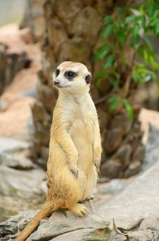 Free Meerkat. Royalty Free Stock Photos - 28125798