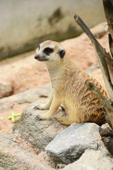 Free Meerkat. Stock Images - 28125894