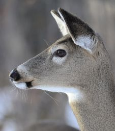 Free Whitetailed Deer Close Up Stock Photos - 28126283