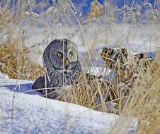 Free Great Grey Owl Stock Photo - 28126490