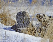 Free Great Grey Owl Stock Image - 28126541