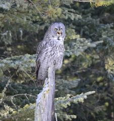 Free Great Grey Owl Royalty Free Stock Photos - 28126558