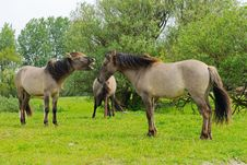 Horses Fighting In Nature Royalty Free Stock Photos