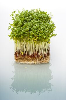 Free Shoots Of Cress Royalty Free Stock Photography - 28131737