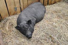 Free Decorative Pig Royalty Free Stock Image - 28133646
