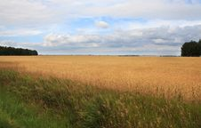 Field Of Ripe Wheat. Royalty Free Stock Photography