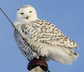 Free Snowy Owl Perched Royalty Free Stock Photos - 28145718
