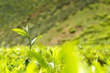 Free Green Tea Bud. Stock Images - 28142714