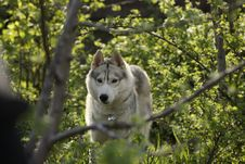 Free Siberian Husky Dog Breed Is Hiding In The Bushes Royalty Free Stock Image - 28145436