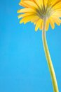 Free Yellow Gerbera Royalty Free Stock Photography - 28152437