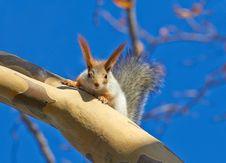 Free Red Squirrel &x28;Sciurus Vulgaris&x29; Royalty Free Stock Photo - 28152215