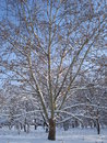 Free Sycamore Covered By Snow Stock Photo - 28165350