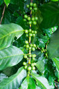 Free Unripe Coffee Beans On The Branch Royalty Free Stock Photo - 28167275