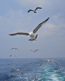 Free Seagull Stock Images - 28162524