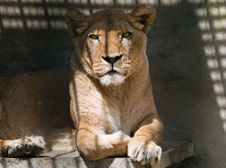 Free Lioness Royalty Free Stock Photography - 28162587