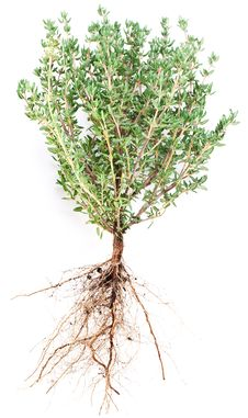 Free Thyme Herb. Stock Photography - 28163652