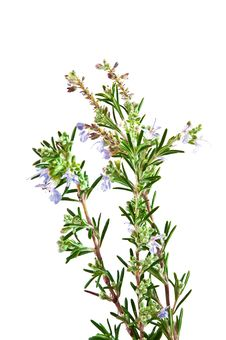 Free Flowering Rosemary Bush Stock Image - 28165111